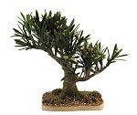 Olive Tree with Olives<br>15 cm in Height